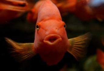 Un Britannique condamné pour avoir avalé un poisson rouge vivant | Le bêtisier | Scoop.it