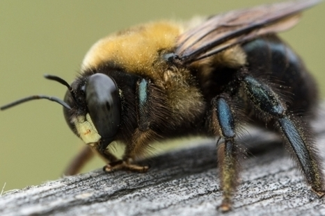 I'll Bee There for You: Do Insects Feel Emotions? | Scientific American | CALS in the News | Scoop.it