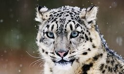 #FF Hundreds of snow #leopards being killed every year, report warns | Messenger for mother Earth | Scoop.it