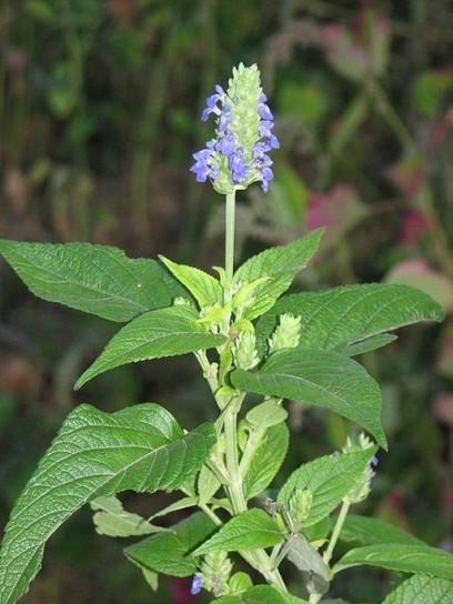 Plantas medicinales - etnobotánica-fitoterapia ... | Vida sana | Scoop.it