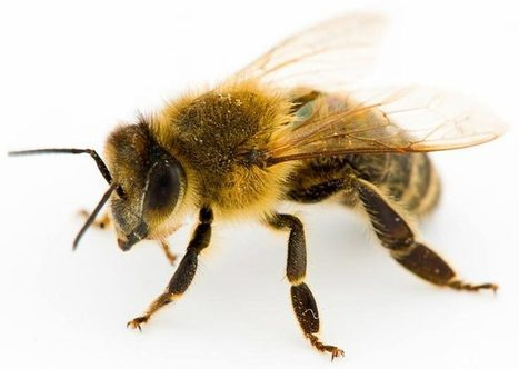 Disappearing Bees or Disappearing Science? | Environmental Innovation | Scoop.it