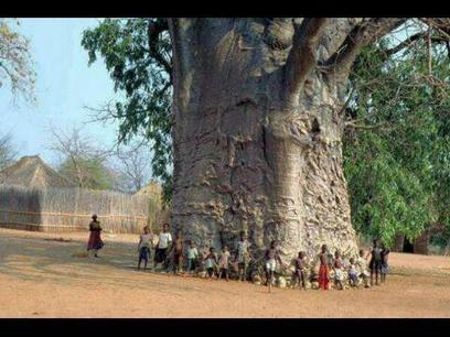 Twitter / AfricaFactsZone : A 2000-year-old tree in South ... | Africa | Scoop.it