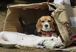 Ecco il modulo per avere in affido uno dei beagle salvati da Green Hill | SOS TERRA:solidando | Scoop.it
