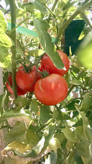 Arizona Gardeners: Should I keep my tomato vines for another harvest in the fall? | Tri-Valley Dispatch (Casa Grande AZ) | CALS in the News | Scoop.it