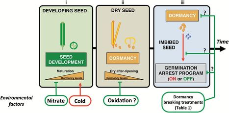 Primary seed dormancy: a temporally multilayered riddle waiting to be unlocked | SEED DEV LAB Biblio | Scoop.it