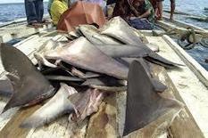 Ailerons de requins : la Nouvelle-Zélande déclare la guerre aux chasseurs | Nature & Civilization | Scoop.it