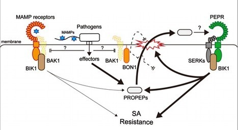 Danger peptide receptor signaling in plants ensures basal immunity upon pathogen-induced depletion of BAK1 - Yamada - 2015 - The EMBO Journal - | Plant-Microbe Interaction | Scoop.it