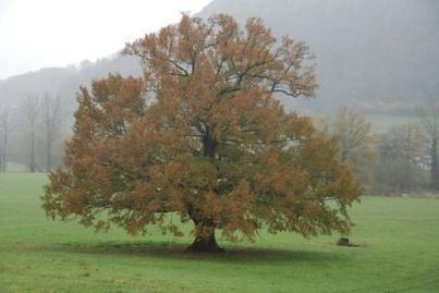 Le génome du chêne séquencé - mieux comprendre la formation des tanins | Le Vin et + encore | Scoop.it