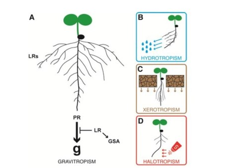 Review. Growing Out of Stress: The Role of Cell- and Organ-scale Growth Control in Plant Water-stress Responses | Plant Biology Teaching Resources (Higher Education) | Scoop.it
