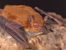 Scientists discover new bat species in West Africa - University of York   Bat Biology and Ecology   Scoop.it