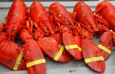 Everything Depends On Everything: Loss of large fish could end Gulf of Maine Lobster | Biodiversity IS Life  – #Conservation #Ecosystems #Wildlife #Rivers #Forests #Environment | Scoop.it