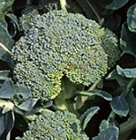 NCSU CALS study researches enhancing levels of antioxidant in broccoli | Research from the NC Agricultural Research Service | Scoop.it
