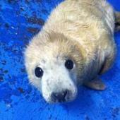 Nace una foca gris en el Zoo Aquarium de Madrid | BROTES DE NATURALEZA | Scoop.it