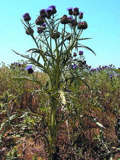 Vidarural   El cardo, un cultivo de secano para producción de biocombustibles   Cardo   Scoop.it
