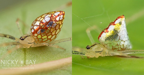 Photos of Mirror Spiders with Silvery 'Scales' That Grow and Shrink   Learning*Education*Technology   Scoop.it