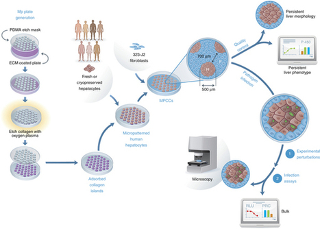 Micropatterned coculture of primary human hepatocytes and supportive cells for ... - Nature.com | Hepatitis C New Drugs Review | Scoop.it
