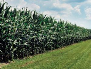 Genetically modified corn loses its edge against pests | leapmind | Scoop.it