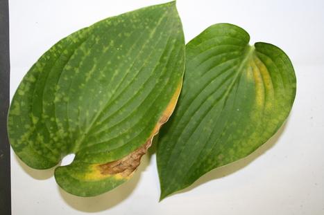 'Patchwork Plants' Created by Foliar Nematodes | Plant-parasitic nematodes | Scoop.it