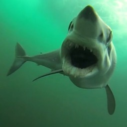 Real-Life 'Jaws' Video Shows What a Shark Attack Might Look Like | Business Transformation | Scoop.it