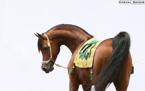 Des vidéos de chevaux de pur-sang arabes dans les rues de Paris | Arabian Horses | Scoop.it
