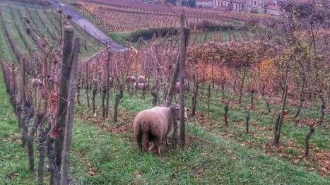 Des tondeuses naturelles dans les vignes d'Alsace | Le Vin et + encore | Scoop.it