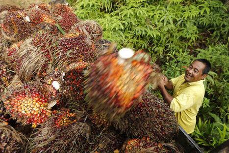 Une levure pour remplacer l'huile de palme - Le Vif   Sciences biologiques   Scoop.it