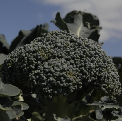 JIC mention: Norwich-bred broccoli gets patent | BIOSCIENCE NEWS | Scoop.it