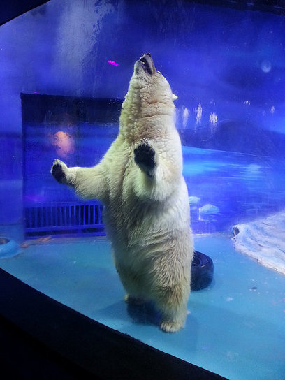 This Polar Bear Hybrid Lives In A Chinese Mall, 'Suffering For Selfies' | Nature Animals humankind | Scoop.it