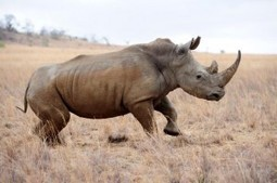 Two arrested for attempted rhino poaching - Citizen | Impact on Wildlife | Scoop.it