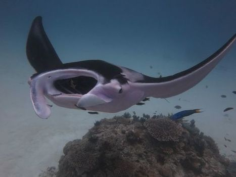 Divers spot pink manta ray at Lady Elliot | Planet Earth | Scoop.it