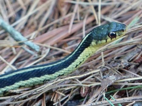 Photo de serpent : Couleuvre rayée - Couleuvre jarretière - Serpent jarretière - Thamnophis sirtalis - Common Garter Snake | Fauna Free Pics - Public Domain - Photos gratuites d'animaux | Scoop.it