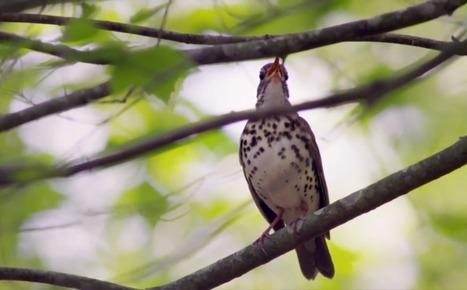 Le silence des oiseaux: le film choc sur la disparition des passereaux. | Biodiversité | Scoop.it