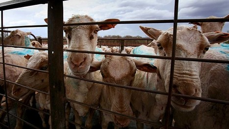 New rules lead sheep to the slaughter at mosque - Sydney Morning Herald | Animals R Us | Scoop.it