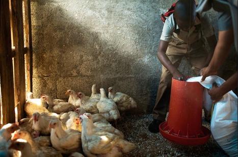Jamaica Focuses on Farming | GTAV AC:G Y9 - Biomes and food security | Scoop.it