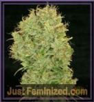 Savor the Spicy Taste of the Best Quality Cannabis Seeds from Top Suppliers | Justfeminized | Scoop.it