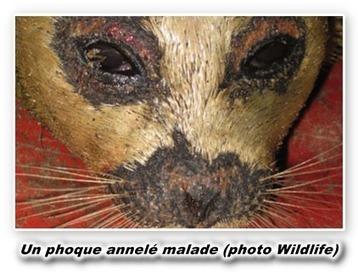 [Fukushima]  Des tests de radioactivité seront menés sur les phoques d'Alaska malades | Toxique, soyons vigilant ! | Scoop.it