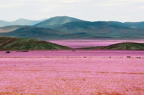 The 'driest place on Earth' is covered in pink flowers after a crazy year of rain | Quite Interesting News | Scoop.it