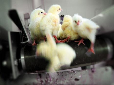 Babies on a Conveyor Belt | Veganism | Scoop.it
