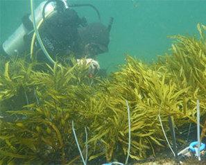 Seaweed transplant revives barren reef - FIS | Amocean OceanScoops | Scoop.it