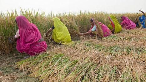 India's Rice Bucket Challenge - HITC | India | Scoop.it