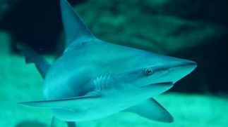 L'aquarium Mare Nostrum s'engage pour la sauvegarde des requins | Requins en Péril | Scoop.it