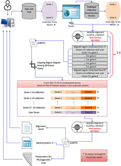A database for the taxonomic and phylogenetic identification of the genus Bradyrhizobium using multilocus sequence analysis | Plant-Microbe Interaction | Scoop.it