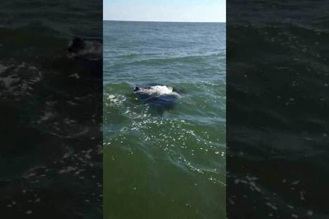Manta Ray Filmed One Mile Off Texas Beach (video) | Texas Coast Living | Scoop.it
