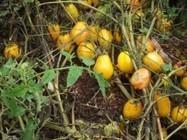 Tomates sans eau ni pesticide: cette méthode fascine les biologistes - Rue89 | Nature Animals humankind | Scoop.it