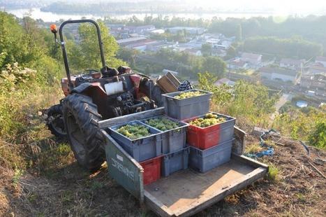 Les vendanges dans les côtes du Rhône septentrionales de l'appellation Condrieu | Le vin quotidien | Scoop.it