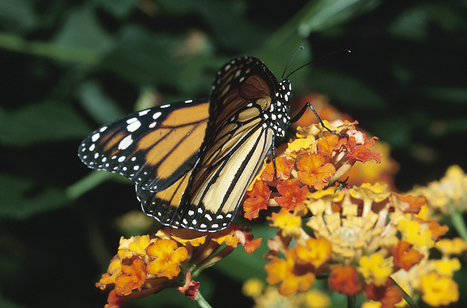 Where Do Butterflies Come From? | Digital story | Scoop.it