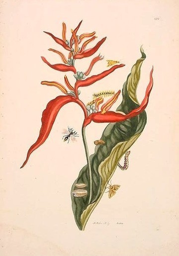 merian54.jpg (424x606 pixels) | Pollinators: a plant focus, for backyards | Scoop.it