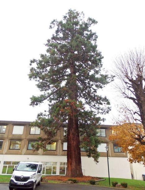 Le séquoia de Magny-en-Vexin élu arbre Val-d'Oisien de l'année | Environnement, paysage et biodiversité | Scoop.it