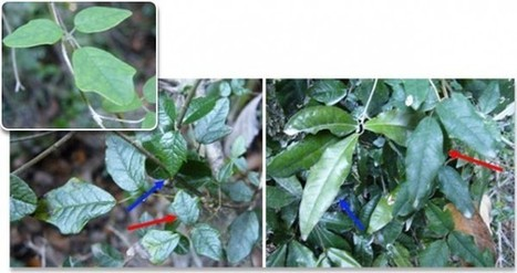 First Shape-Shiftiong 'Chameleon' Vine Discovered That Can Mimic Other Plant's Leaves | Amazing Science | Scoop.it