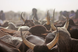 Cattle in poor countries produce more earth-warming gases - IRIN News | CGIAR Climate in the News | Scoop.it